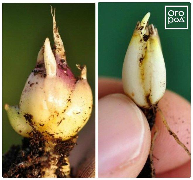 Когда сажать проросшие луковицы лилий 698