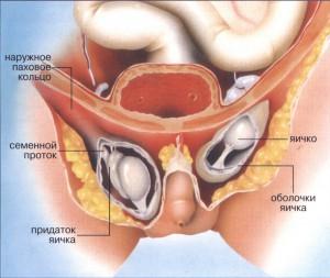 Половые оргоны гемофродита